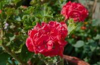 Red garden geranium (Pelargonium)