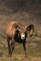 Curious Bighorn Ram