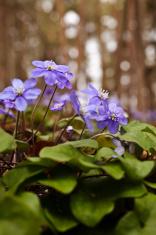Blue anemone flower in spring.