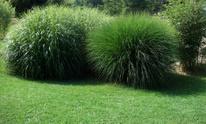 spherical grass plants