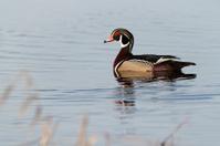 Male Wood Duck on South Dakota pond