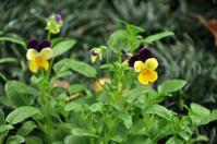 Viola Tricolor / Pansy