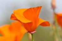 California State Poppy Macro
