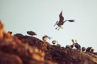 Landing Pismo Beach Pelican