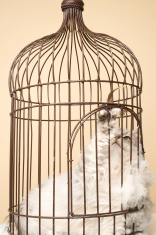 Maine Coon Cat in a Bird Cage.