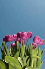 Tulips & Blue Sky