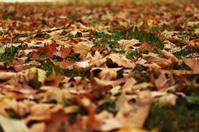 Fallen Maple Autumn Leaves on Grass