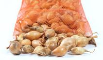 Spanish Onion Bulbs