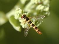 Hoverfly on Sedum