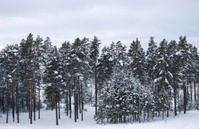 Row with pine trees