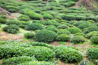 Fresh Tea Plantation