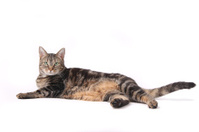 Sitting cat waving tail