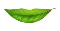 the smiling leaf