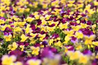 Spring violets