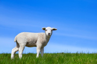 Little lamb on a grassy hill on a sunny day