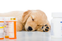Sick Golden Retriever puppy sleeping with medicine bottles