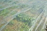 strawberry field under plastic