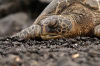 Green Sea Turtle sleeping on black sand