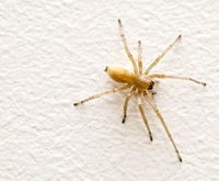 Big House Spider, Macro