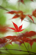Red Japanese Maple Leaves