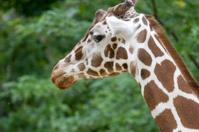 giraffe head close-up