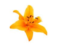 Orange liliy flowers