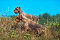 Animals dog Korthal