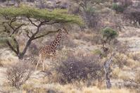 Giraffe Camouflage