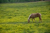 Blonde Horse in Yellow Field