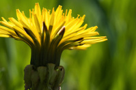 Green Grass Dandelion Macro