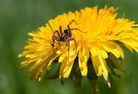 Spider And Dandelion
