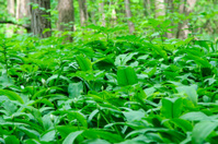 Ramson in forest