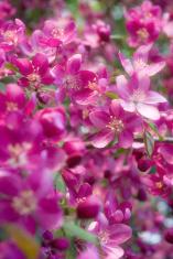 Crabapple spring flowers
