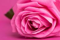 pink rose on magenta background