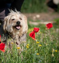 Terrier dog in field of poppies. Poppy flowers.