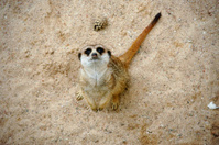 Sad meerkat