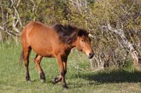 Wild Pony on Assateague Island National Seashore