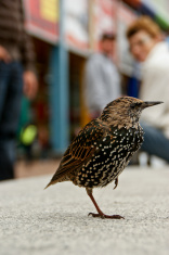 Amstel Bird