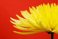 yellow Cactus dahlia flower, or star against vibrant red