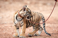 tiger cub turning his head around