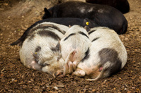 Group of piglets resting