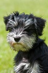 miniature schauzer puppy