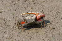 """Fiddler crab with a """"big hand"""""""