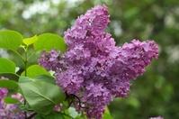 Lilac (Syringa vulgaris).