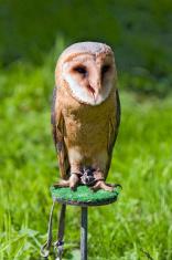 Barn owl at a raptor demonstration