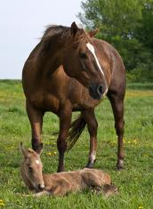 Quarter Horse Mare & Foal
