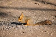 American Red Squirrel Tamiasciurus hudsonicus