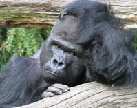 ´Thinking Gorilla