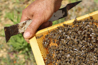 Honeycomb full of bees