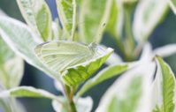 Cabbage White Butterfly Profile on Variegated Leaf